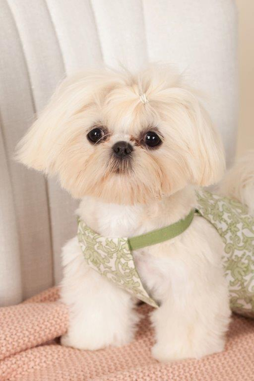 Sweet Little Coconut - White Shih Tzu