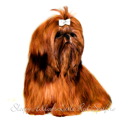 Red Shih Tzu Dog
