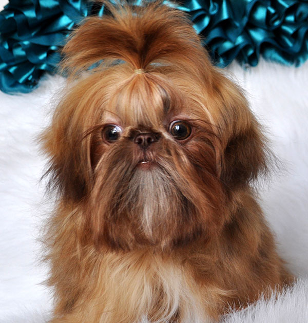 Buy Imperial Shih Tzu Puppies: Toy Shih Tzu Puppies for Sale