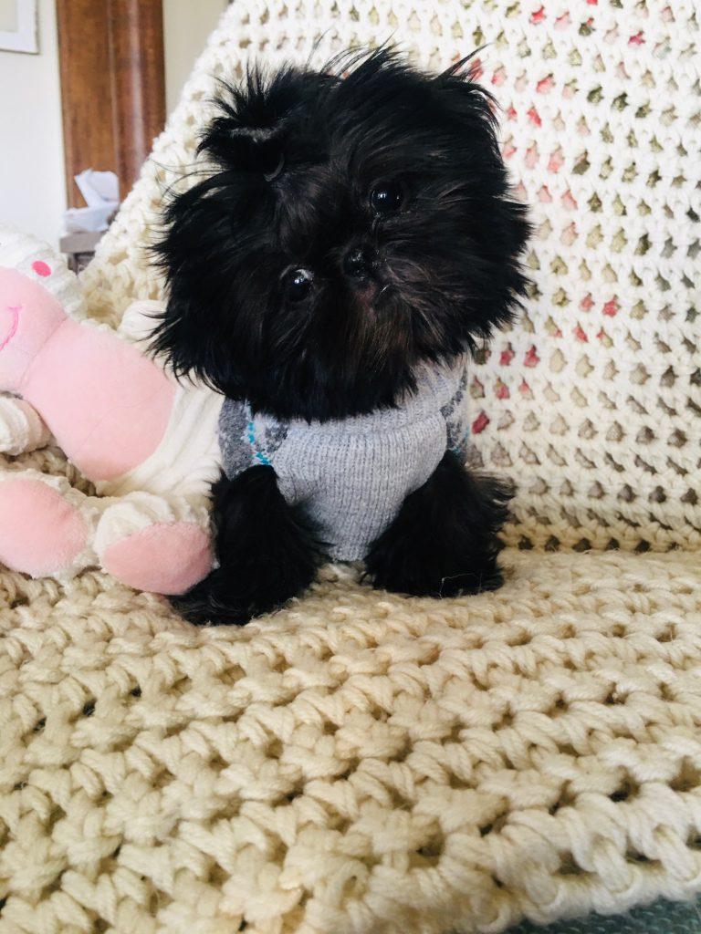 All black Shih Tzu puppy